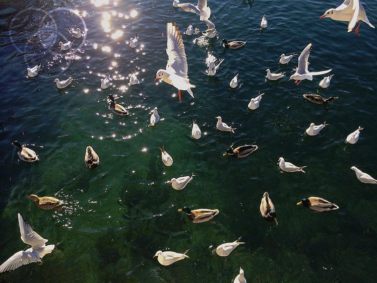 Gabbiani sull'Isola dei Pecsatori - lago Maggiore