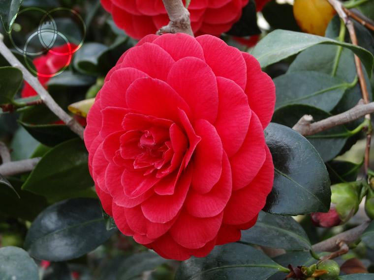 Camellia japonica a Locarno