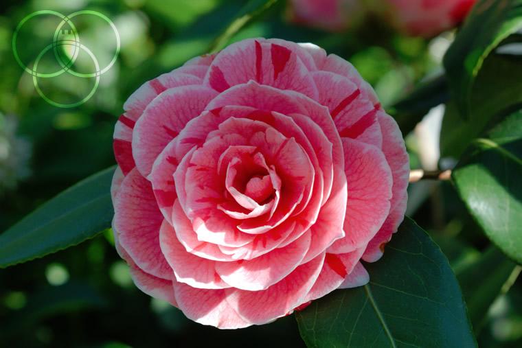 Camellia japonica Dad's Pink