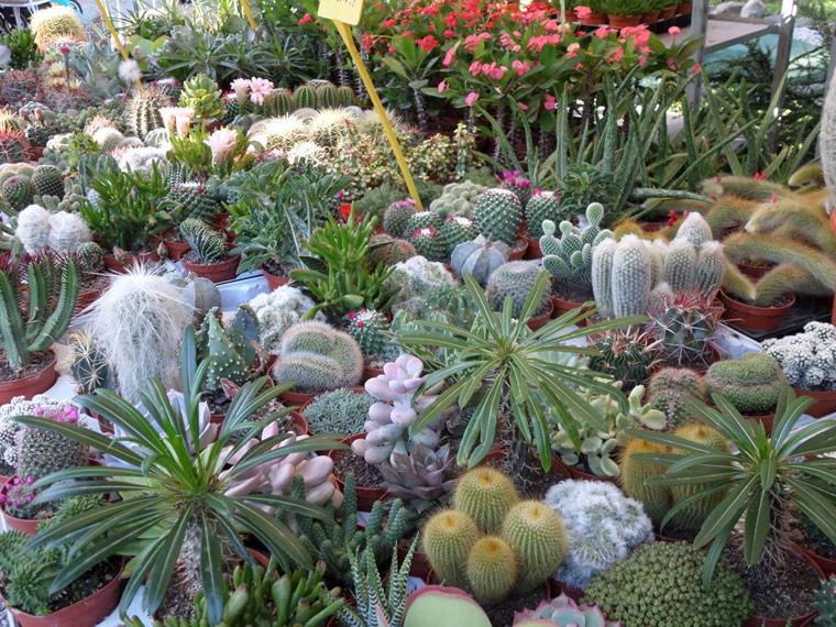 Cactus Folies Pallanza