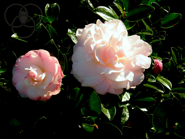Camellia Hiemalis lago Maggiore