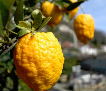 Cannero Riviera: festa degli agrumi