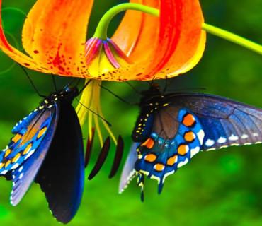 Farfalle del lago Maggiore