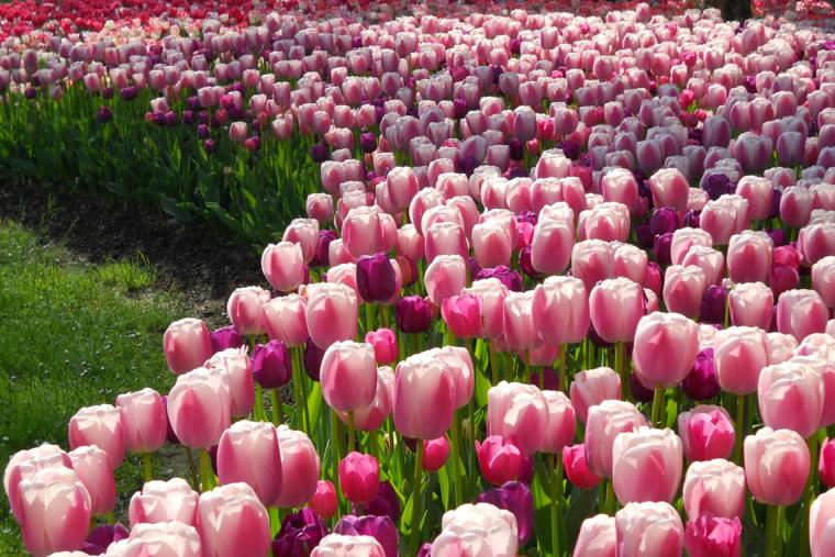 Tulipani a Villa Taranto