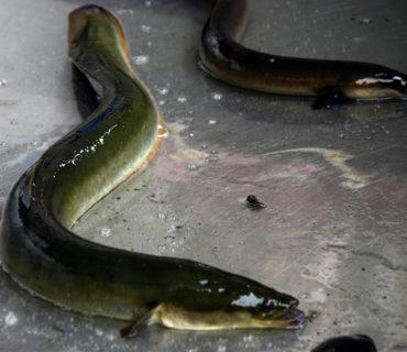 Anguille del lago Maggiore