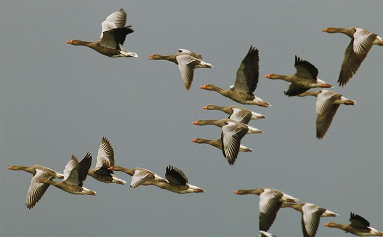 Oche selvatiche in migrazione