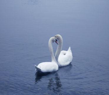 Cigni sul lago Maggiore